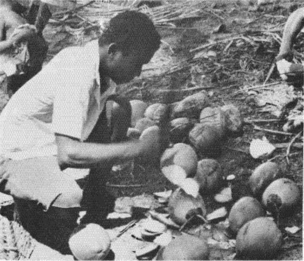 Preparing a lunch of Coconuts on the beach of Rocktown.